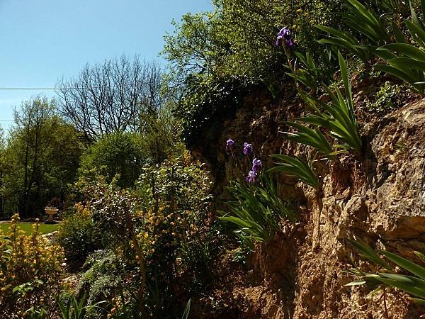 Iris violet dans la falaise PL