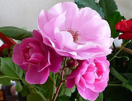 roses-002.JPG