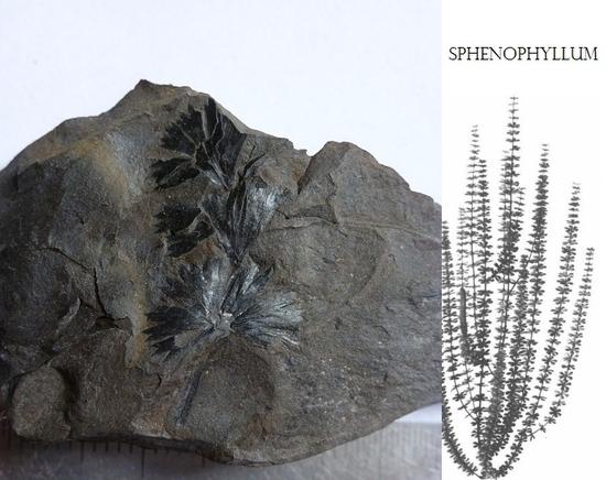 A. 94 sphenophyllum