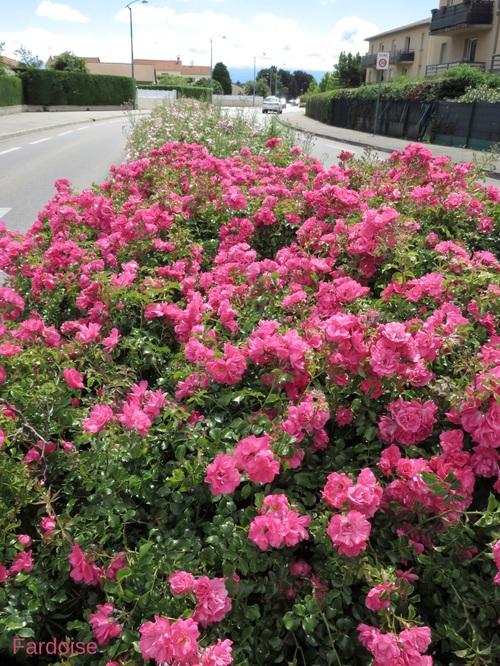 Des haies de roses