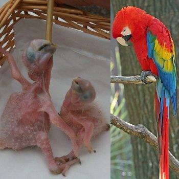 les nouveau-nés sans plume ressembleront bientôt à leurs superbes ainés.