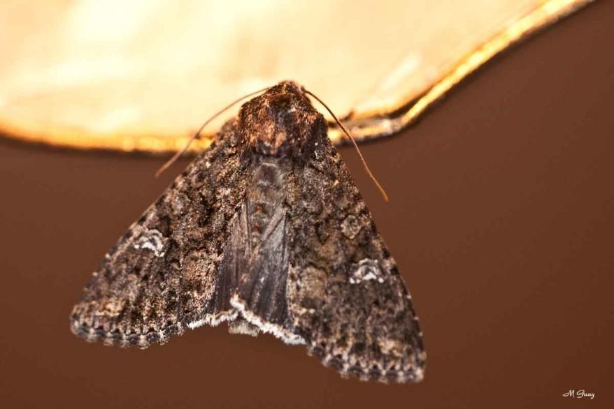 papillon-noctuelle-8824.jpg
