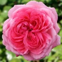 1 La rose de Molinard