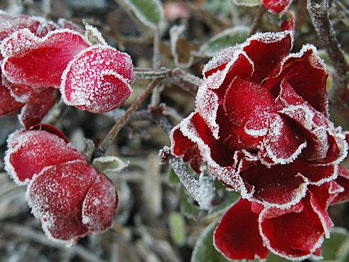 roses-givrees70.jpg