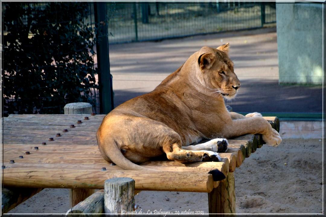 Lion - Zoo de la Palmyre - Charente-Maritime (4)
