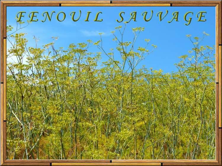 Vertus médicinales des plantes sauvages : Fenouil sauvage