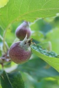 Pommier - Premiers fruits