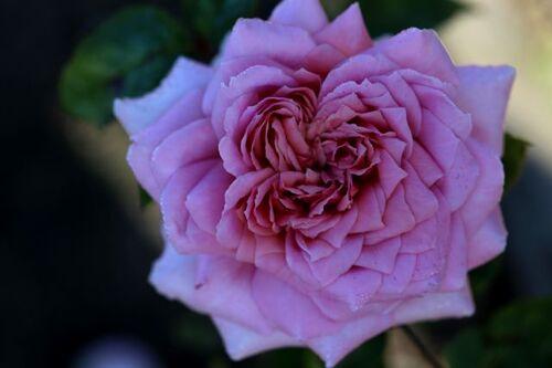Encore toujours des roses à la Roseraie