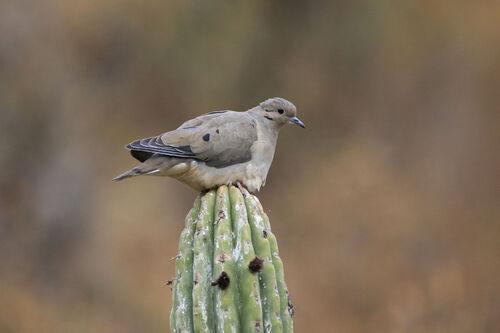 Tourterelle oreillarde (Eared Dove)