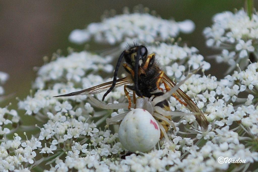 changer araignée hornet