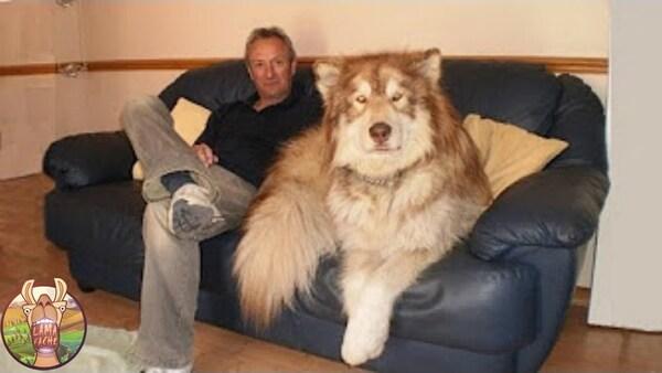 Tydus, le chien qui ressemble à un lion