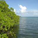La mangrove - Photo : Hervé
