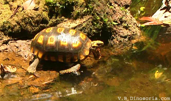 tortue-charbonniere.jpg