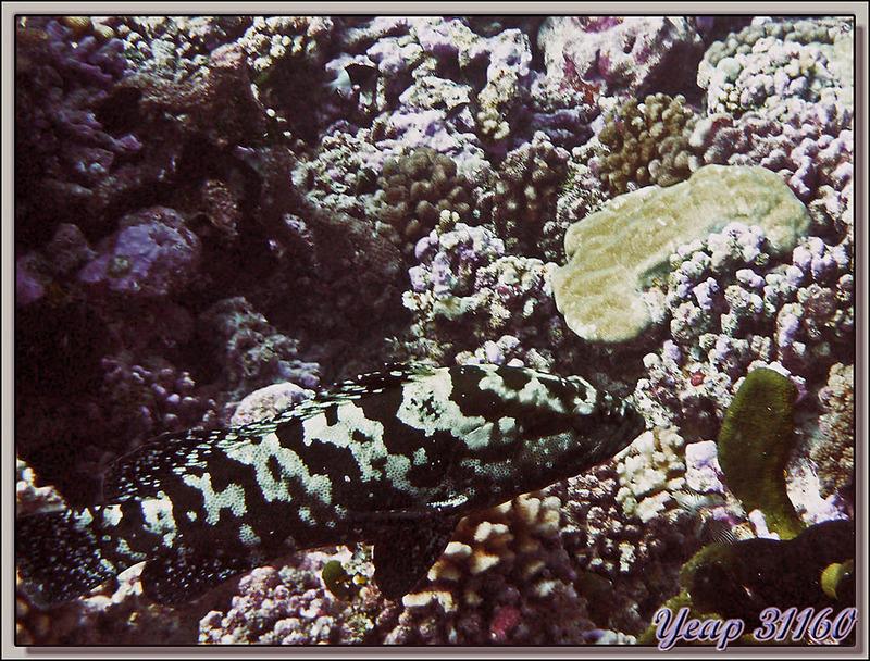 Loche marbrée (Epinephelus polyphekadion) - Passe Avatoru - Rangiroa - Tuamotu - Polynésie française
