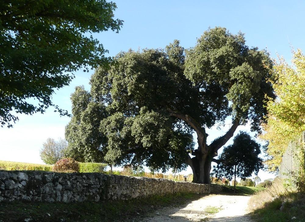 Le chêne vert de François 1er, en Charente...