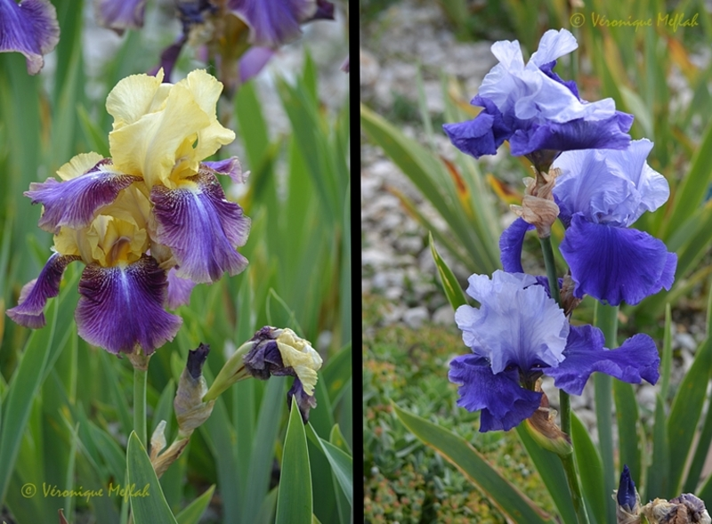 Parc floral de Paris :  Bon premier mai à tous