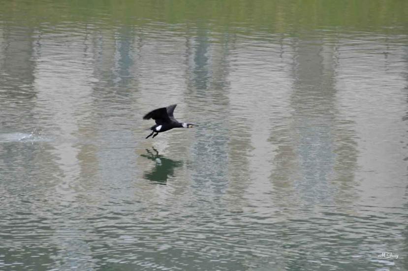 grand-cormoran-en-vol-0709.jpg