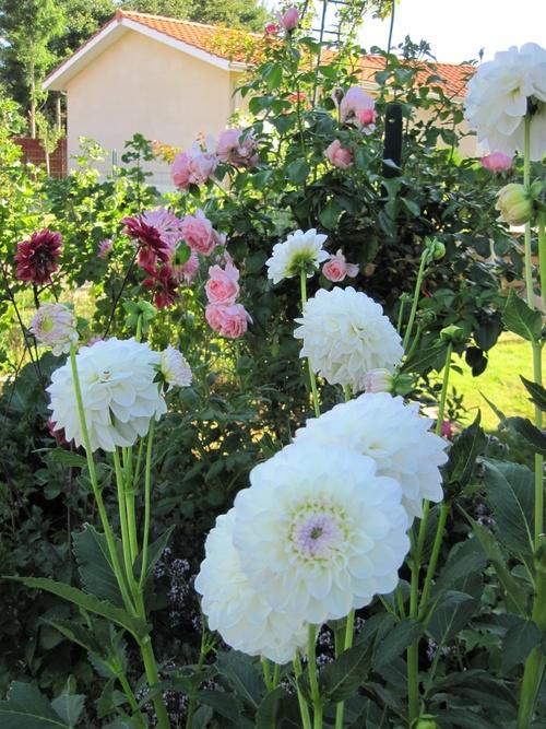 Les dahlias du jardin