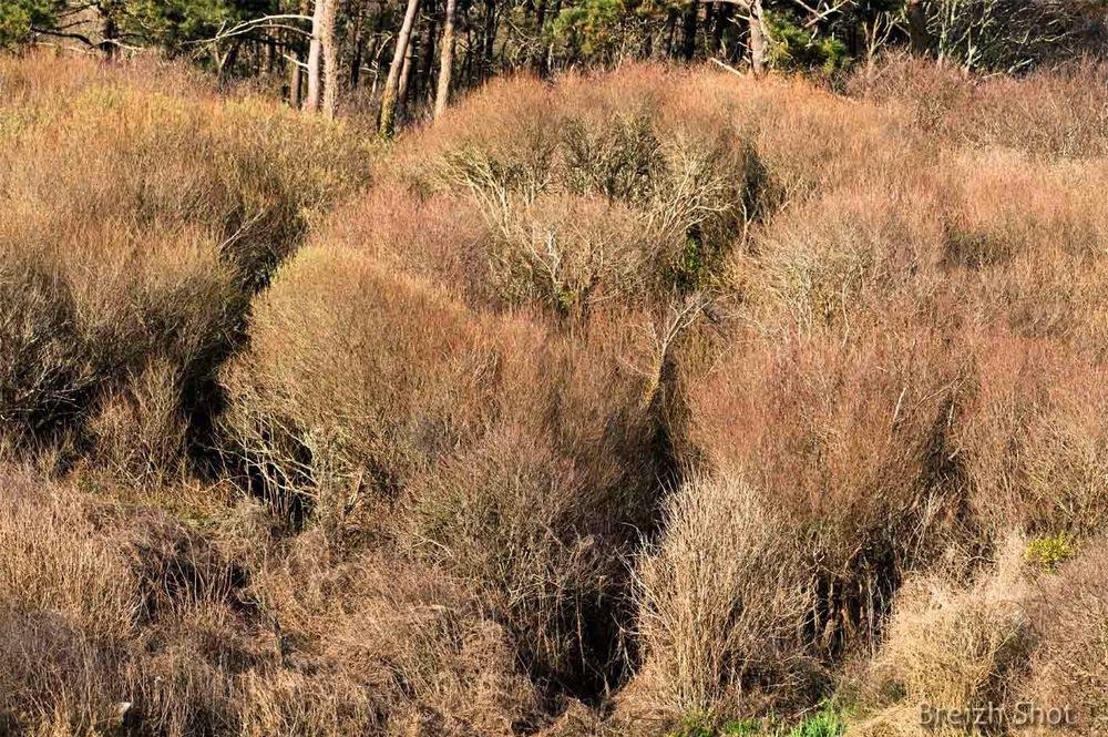 Porz Teg - La végétation arbustive
