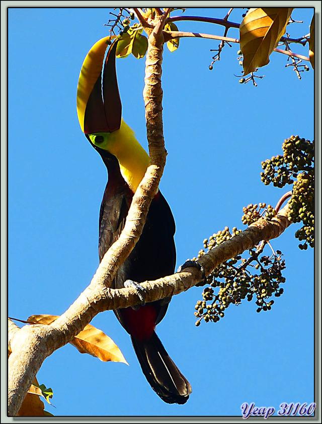 Blog de images-du-pays-des-ours : Images du Pays des Ours (et d'ailleurs ...), Toucan à carène (Ramphastos sulfuratus) et la délicatesse de son gros bec - Dominical - Costa Rica