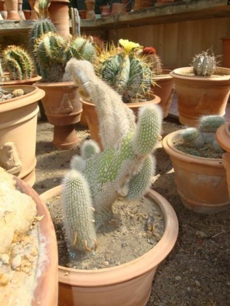 Jardin botanique de Palerme (les cactus)9b