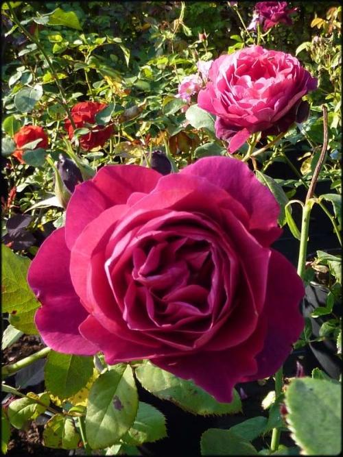 Journées portes ouvertes au temps des roses (chez Filroses)