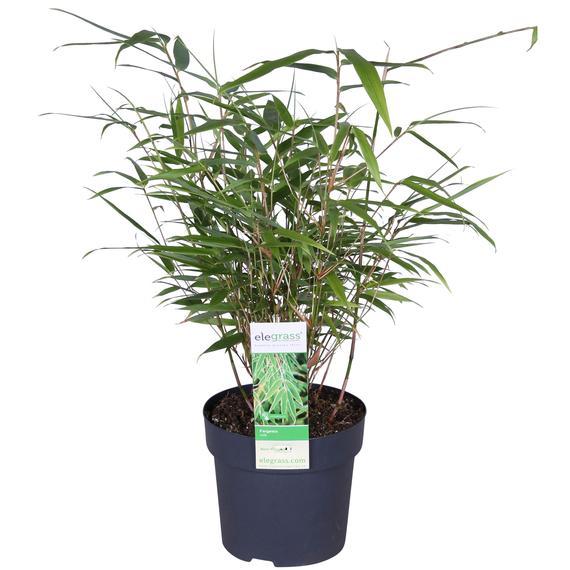 Bambou 'Rufa' vert
