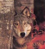 """Classe découverte """"Loups"""""""