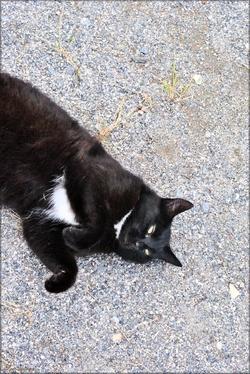 Photo de Minette, chatte noire et blanche