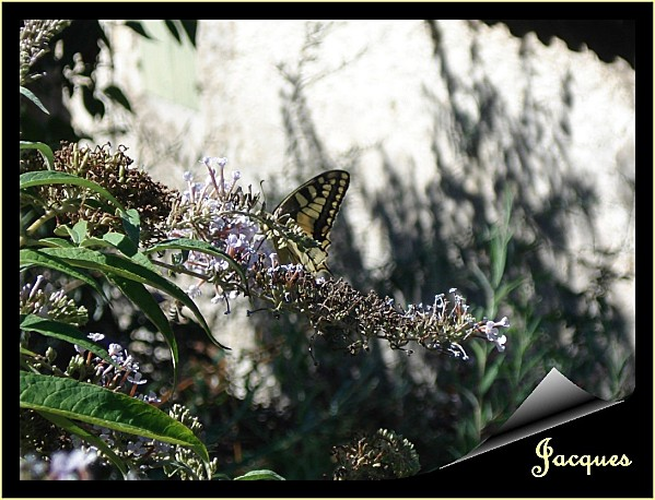 machaon 2