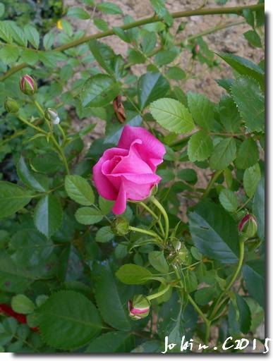 Roses 2015 suite