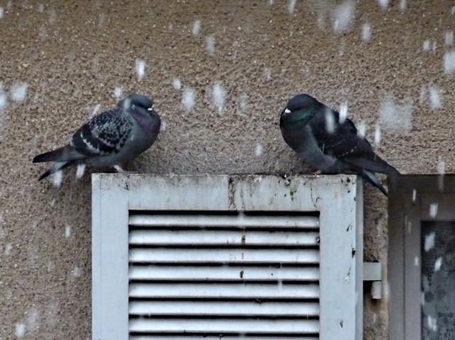 Pigeons de Metz 1 27 12 09