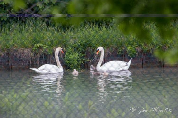 Famille De cygnes