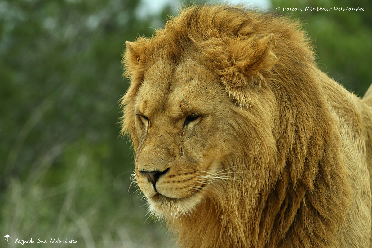 Portraits de Lions ♂