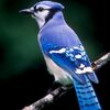 Blue Jay, Ashland, Wisconsin.