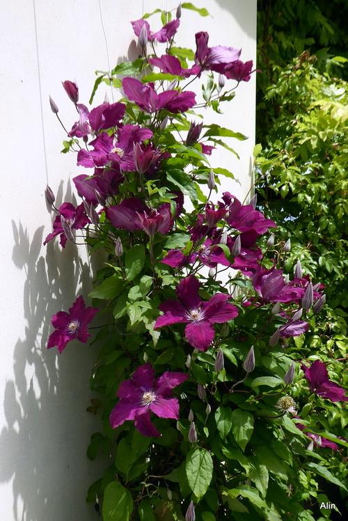 Une belle plante grimpante : la clématite !