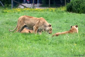Lion de l'Angola