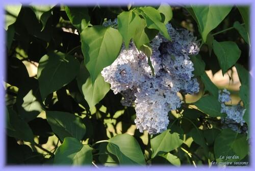 Fleurs bleues, mauves