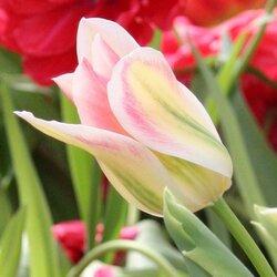 Mes tulipes pour 2021