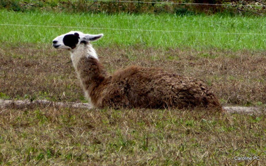 *Les lamas ont de la compagnie*