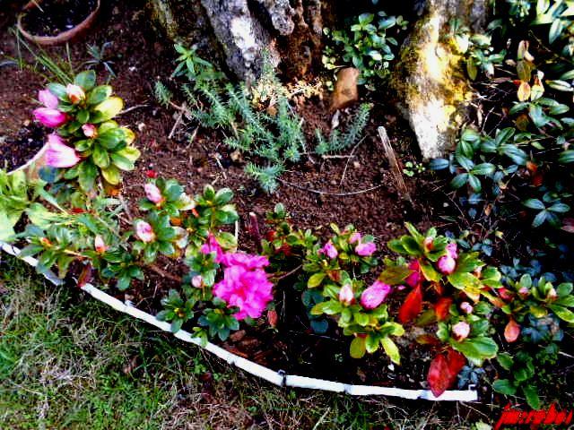 L'Azalée une proche du Rhodo , la grâce de la Rose et la fraîcheur du Camélia