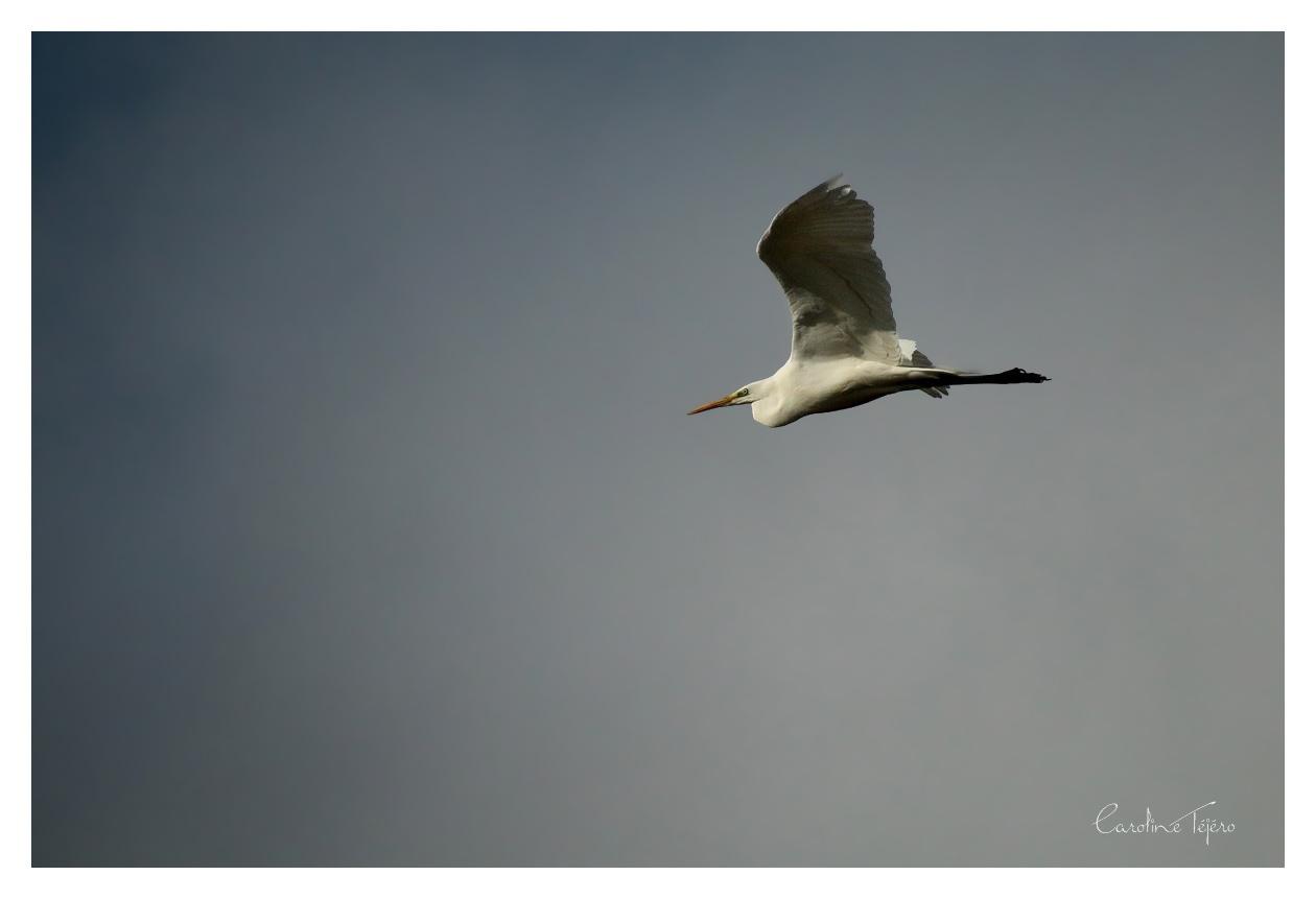 Grande Aigrette en vol