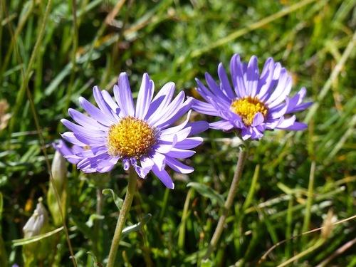 Les Cloches de Barles en fleurs