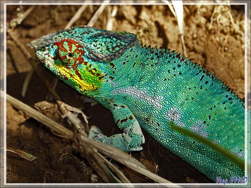 Caméléon panthère mâle, Panther chameleon (Furcifer pardalis) - Nosy Be - Madagascar