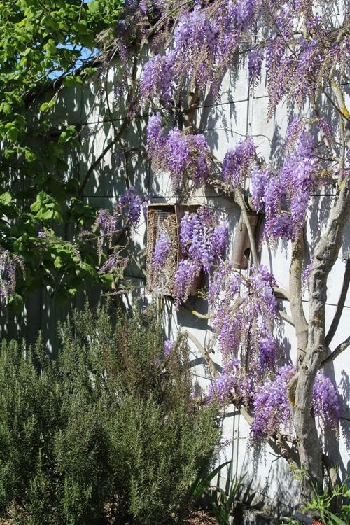 L'une des merveilles du jardin : la glycine