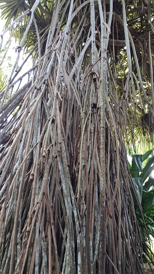 Jardins de Balata Martinique (suite)
