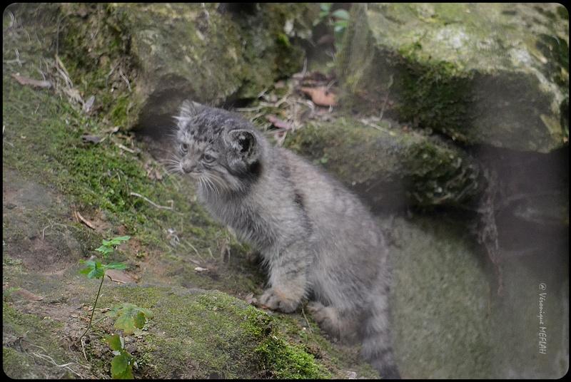 La Ménagerie, le Zoo du Jardin des Plantes : Chat de Pallas