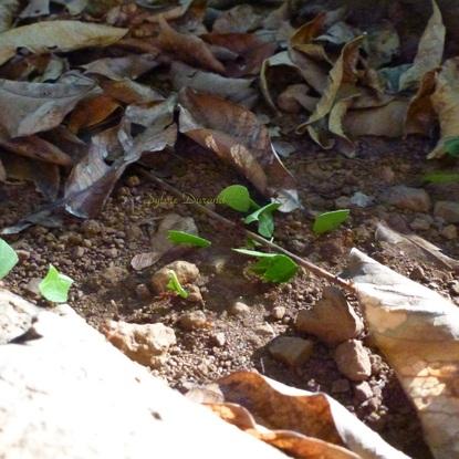 Atta ou Fourmis Tropicales Champignonnistes d'Amérique - Guyane