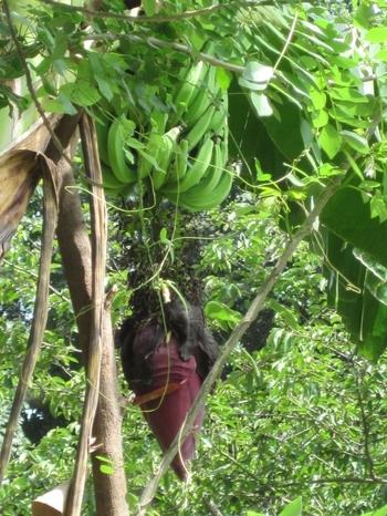 Togo Région des Plateaux Bananiers