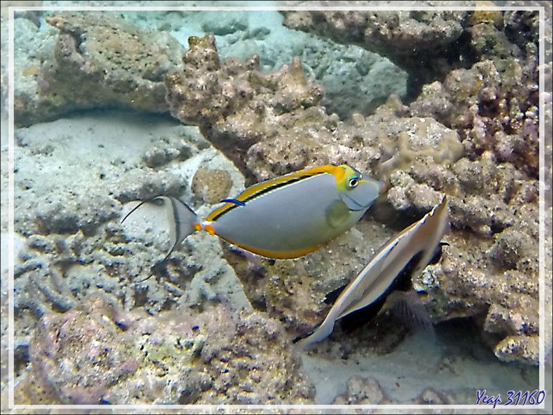 Snorkeling : Licorne indienne à épines orange, Nason bariolé, Nasique à éperons, Orange-spine unicorn, Smoothheaded unicornfish (Naso elegans) - Moofushi - Atoll d'Ari - Maldives